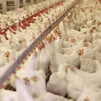 Avian Influenza Risk (Bird Flu, H5N8)