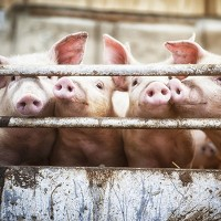 African Swine Fever - Recommendations