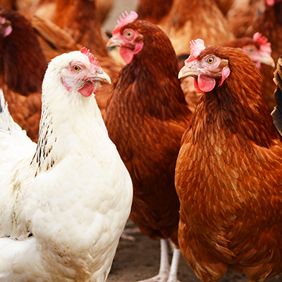 Avian Influenza Outbreak November 2020