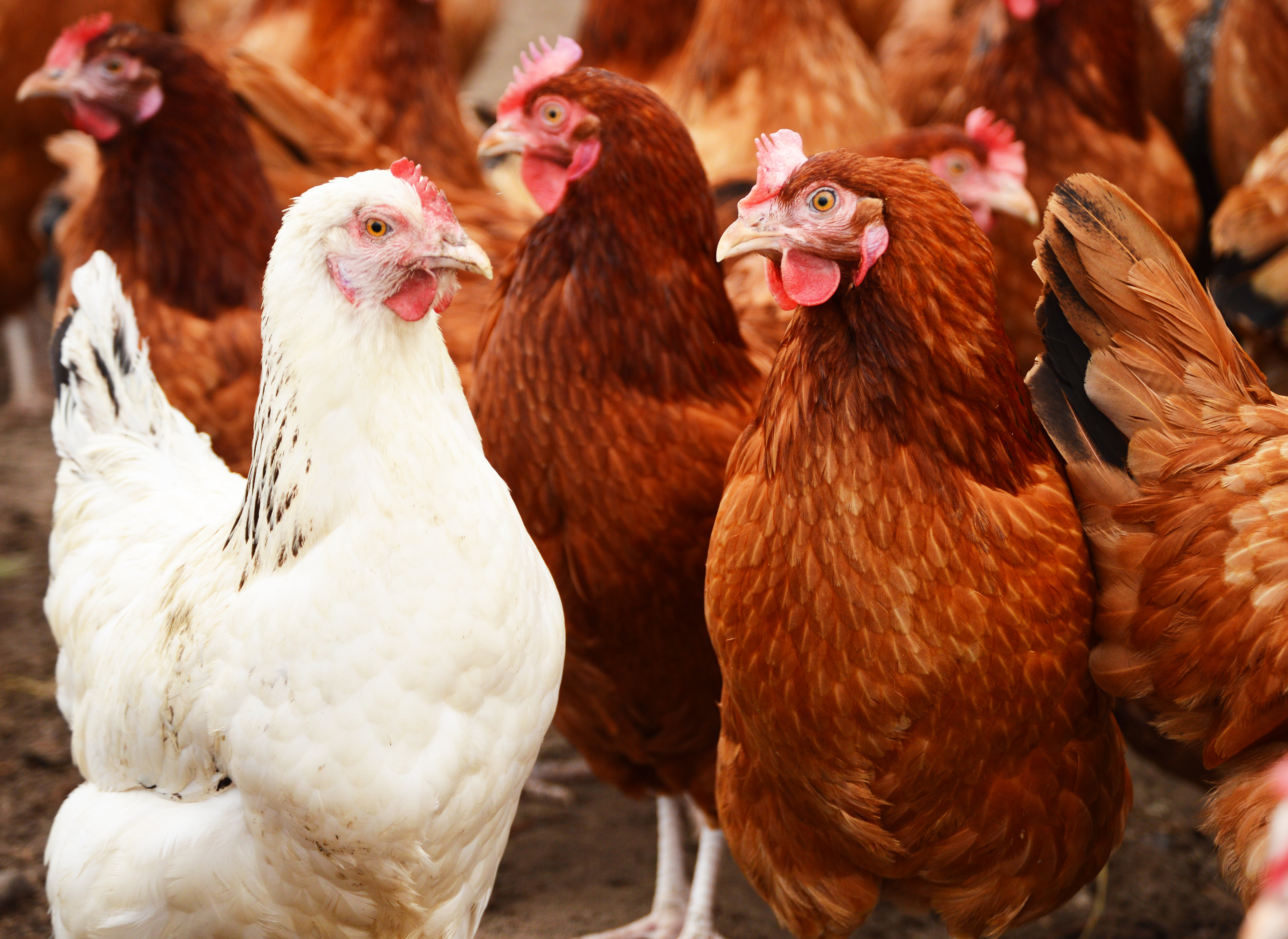 Avian Influenza Risk (Bird Flu, H5N1)